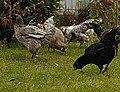 Гилянские куры (Королев Александр)Gilyan breed.jpg
