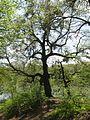Голосіївський ліс IMG 6040.jpg