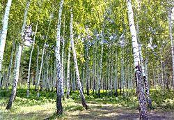 Сингульский лес.jpg