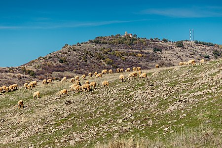 Herd of sheep with the Drenok Monastery and the transmitter 'Kostomar' on the Kostomar hill in the background