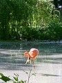 Фламінго у Київському зоопарку.jpg