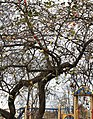 Царникава (Латвия) Поздние яблочки - panoramio.jpg