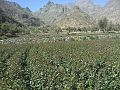 زراعة القات في وادي الدار - panoramio.jpg
