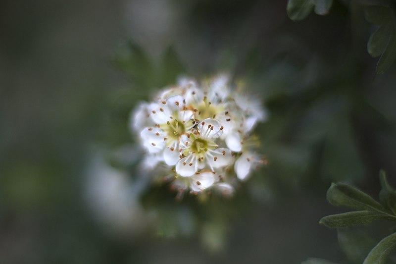 File:گلها و گیاهان دارویی، روستای خفر پادنا در ایران 22.jpg