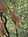 बबूल के पेड़ पर लटके हुए बया पक्षी के घोंसले.jpg