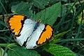 வெண் சிறகன் வண்ணத்துப்பூச்சி - White orange tip butterfly upper wing - Ixias marianne.jpg