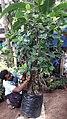 നേച്ചര് ക്ലബ് സംരക്ഷണത്തില് ഒരു പേരാല് .jpg