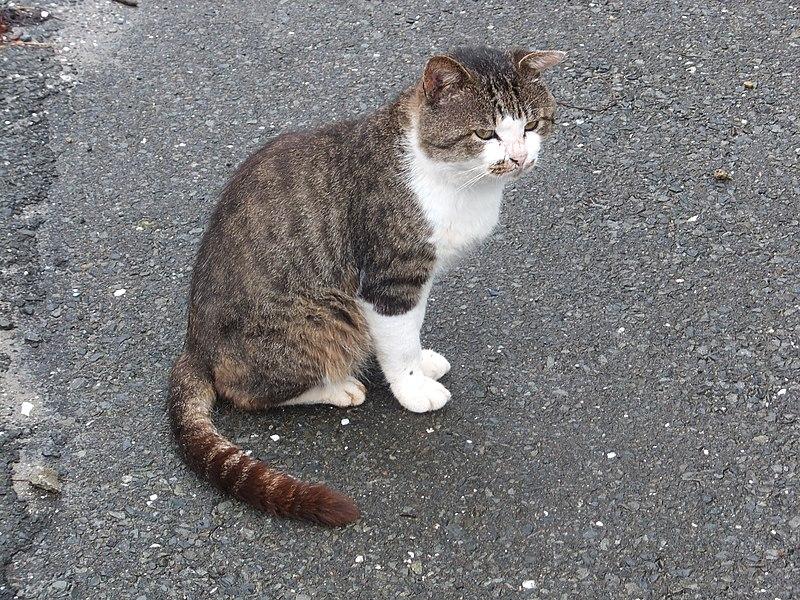 ファイル:ねこ太郎(田代島の猫).JPG