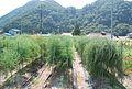 やなば亭- アスパラ畑 (3836376178).jpg