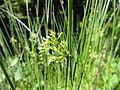 イ(藺-イグサ(藺草))(Juncus effusus L. var. decipens Buchen.) (5844476495).jpg