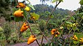 五指茄 Nipplefruit - panoramio.jpg