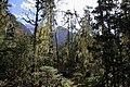 原始森林树木松萝 - panoramio.jpg