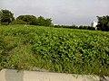 土豆/花生? (120601) - panoramio.jpg