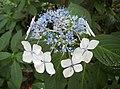 山繡球 Hydrangea macrophylla v normalis -日本廣島縮景園 Hiroshima Shukkeien Garden, Japan- (34952216144).jpg