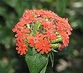 皺葉剪夏羅 Lychnis chalcedonica -阿姆斯特丹植物園 Hortus Botanicus, Amsterdam- (9204850435).jpg
