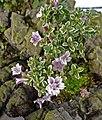 粉花六月雪 Serissa japonica (Serissa foetida) 'Pink' -香港青松觀蘭花展 Tuen Mun, Hong Kong- (14912743114).jpg