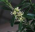 細葉黃楊 Buxus harlandii -香港公園 Hong Kong Park- (9237451021).jpg