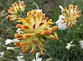 絨毛花屬 Anthyllis vulneraria v alpestris -波蘭華沙 Powsin PAN Botanical Garden, Warsaw- (36396103892).jpg