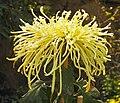 菊花-醉瓊芳 Chrysanthemum morifolium 'Drunken Beautiful Lady' -中山小欖菊花會 Xiaolan Chrysanthemum Show, China- (12085271343).jpg