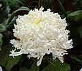 菊花-龍爪型 Chrysanthemum morifolium Dragon-claw-series -上海共青森林公園 Shanghai, China- (9240231464).jpg