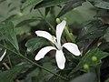 鈍葉杜楝 Turraea obtusifolia -英格蘭 Wisley Gardens, England- (9237476145).jpg