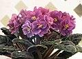 非洲紫羅蘭 Saintpaulia Dizzy Izzy -香港花展 Hong Kong Flower Show- (26022172775).jpg