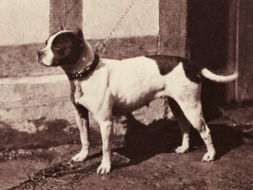 "01. Bull and Terrier, Paris 1863. ""Rose"""