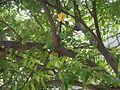 02922jfAverrhoa Tree Fruits carambolafvf 08.JPG