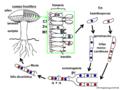 03 02 09 ciclo de vida de Agaricus sp., Agaricales Basidiomycota (M. Piepenbring).png