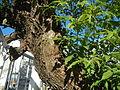0732jfRoad Olongapo Pampanga Mexico Pampanga Santo Cristo Lagundi Vitex negundofvf 18.JPG