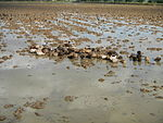 09410jfRoads Paddy fields Domesticated ducks Bahay Pare Candaba Pampangafvf 16.JPG