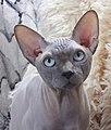 1 adult cat Sphynx. img 024.jpg