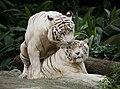1 singapore zoo white tigers mating 2012.jpg