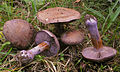 2009-09-28 Cortinarius purpurascens crop.jpg