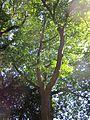 20120827Eiche Saarbruecken1.jpg