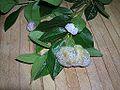 2013-04-07 Exobasidium azaleae Peck 404189.jpg