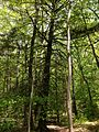 2013-05-12 13 46 04 Lower portion of a large Hemlock along the Wanaque Ridge Trail descending from the Wanaque Ridge in Ramapo Mountain State Forest.jpg