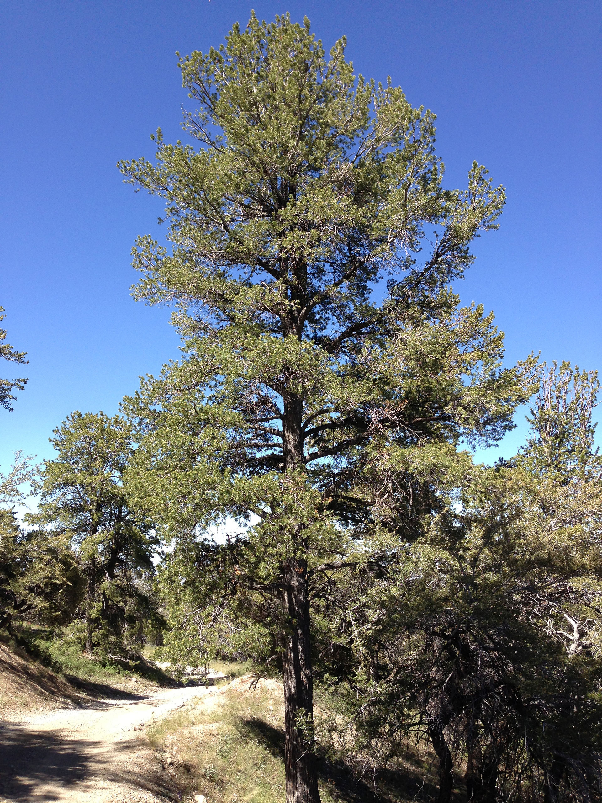 Pine Tree In Barcelona Transperfect: Pinus Flexilis