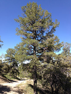 <i>Pinus flexilis</i> species of plant