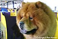 2013 Westminster Kennel Club Dog Show (8466649102).jpg
