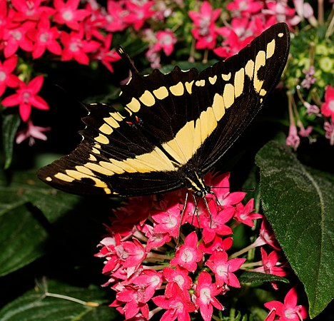 2014-05-01 15-14-58-Papilio-cresphontes-hunawihr.jpg