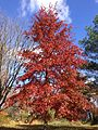 2014-11-02 11 26 10 Pin Oak during autumn along Lower Ferry Road in Ewing, New Jersey.JPG