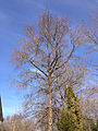 2014-12-29 12 30 46 Sweet Gum on Terrace Boulevard in Ewing, New Jersey.JPG