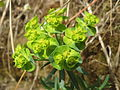 20140330Euphorbia cyparissias.jpg