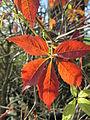 20141108Parthenocissus quinquefolia4.jpg