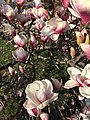 2015-04-12 17 17 44 Saucer Magnolia blossoms on Princeton Avenue in Lawrence, New Jersey.jpg