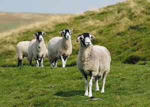 Swaledale sheep - Swaledale Sheep on Oxnop Scar, a southern tributary of Swaledale