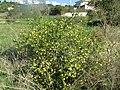 2016 28 November, Black spine nightshade, (Solanum linnaeanum), Albufeira (2).JPG