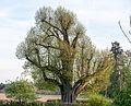 2017-04-24 Naturdenkmal Neusasser Linde 3.jpg