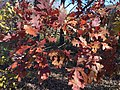 2017-11-23 13 06 31 White Oak leaves during late autumn along Stone Heather Drive near Stone Heather Court in the Franklin Farm section of Oak Hill, Fairfax County, Virginia.jpg